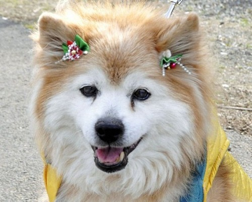 pusuke 500x400 Pusuke, the Worlds Oldest Dog, Dies at Age 26 picture