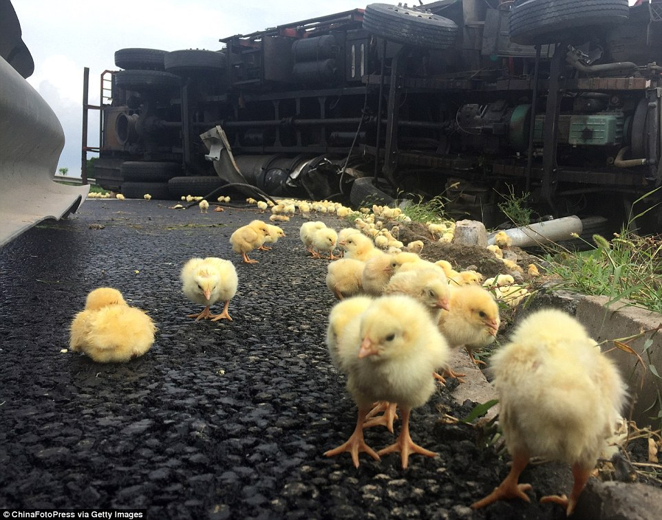 Confused chicks by an overturned truck