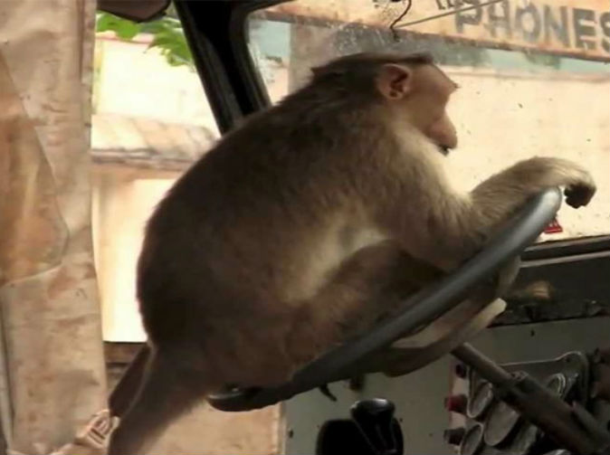 Monkey Steals Crashes Bus In Northern India - Monkey knows how to operate vending machine