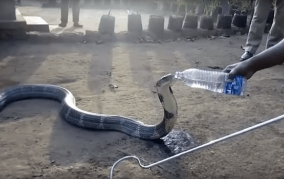 Deadly King Cobra Snake Drinks from Man's Water Bottle