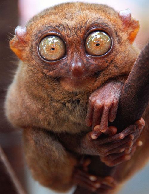Tarsier looking at the camera - What you lookin' at?
