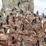 Lots of Penguins near Livingston Island, Antarctica