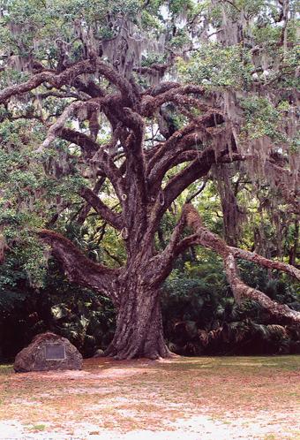 Dead Man's Oak