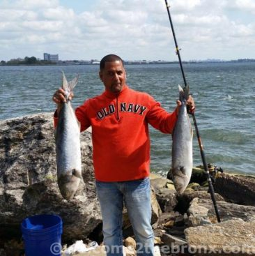Local Bronx resident caught two bluefish last month while fishing off Site E (East 132nd Street Pier) of the Waterfront Plan.