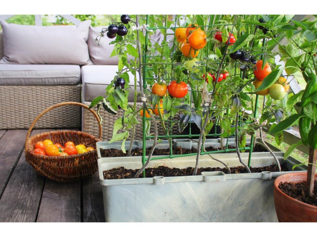 Kitchen Garden with tomato plants