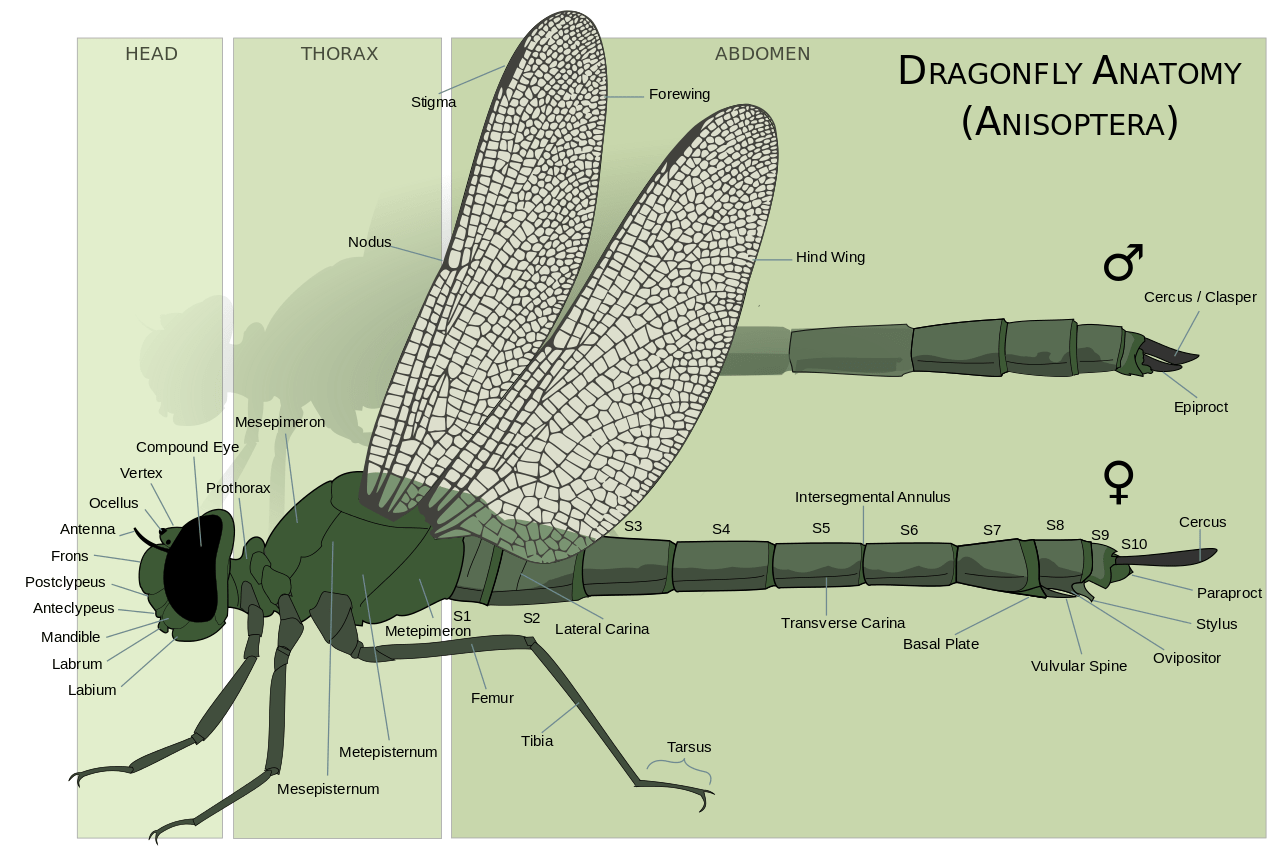 About Dragonflies And Damselflies