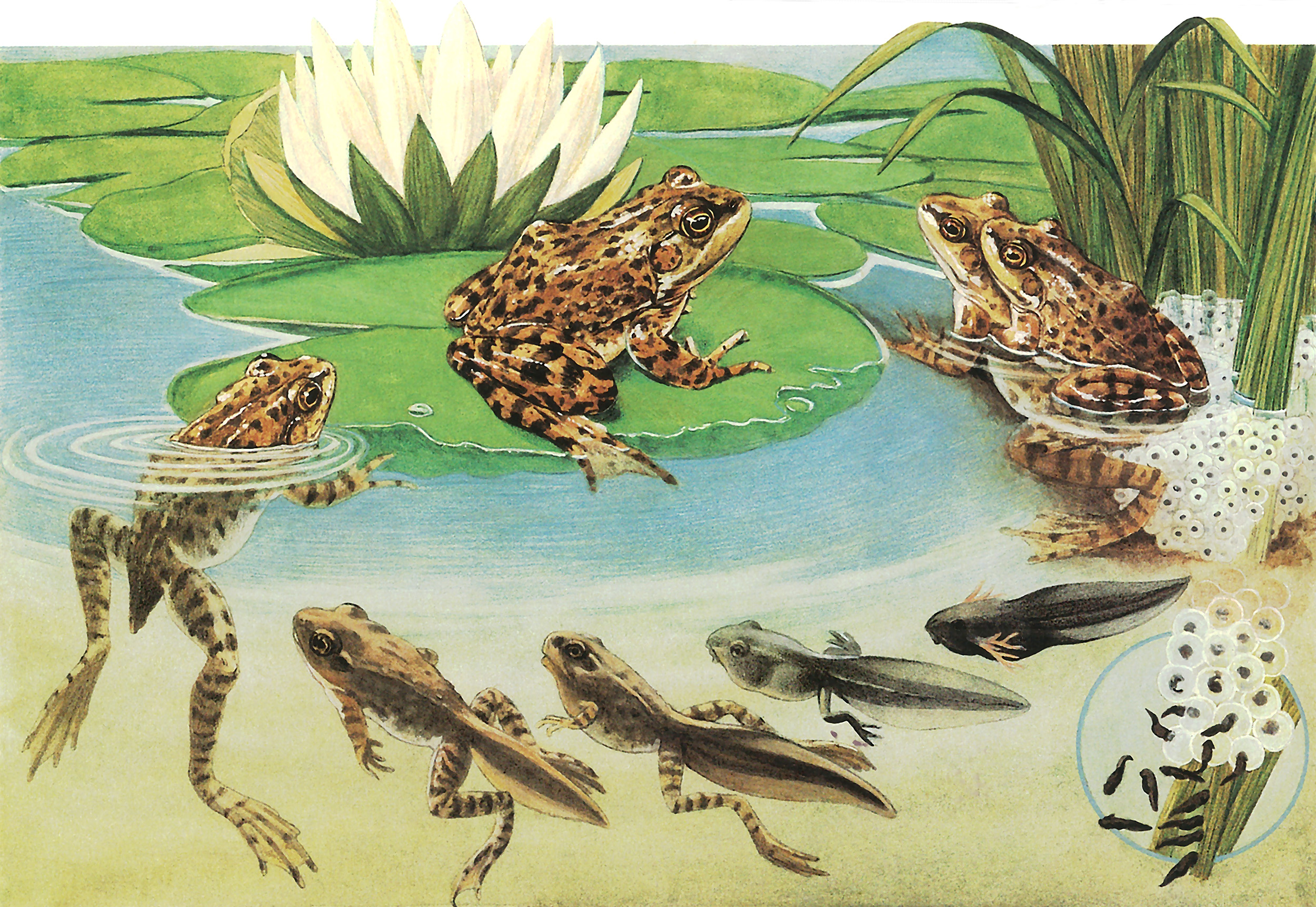 All About Frogs And Toads Welcome Wildlife
