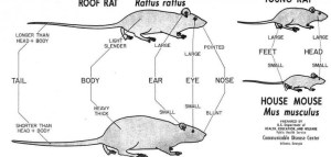 Mice: frequent questions | Wele Wildlife