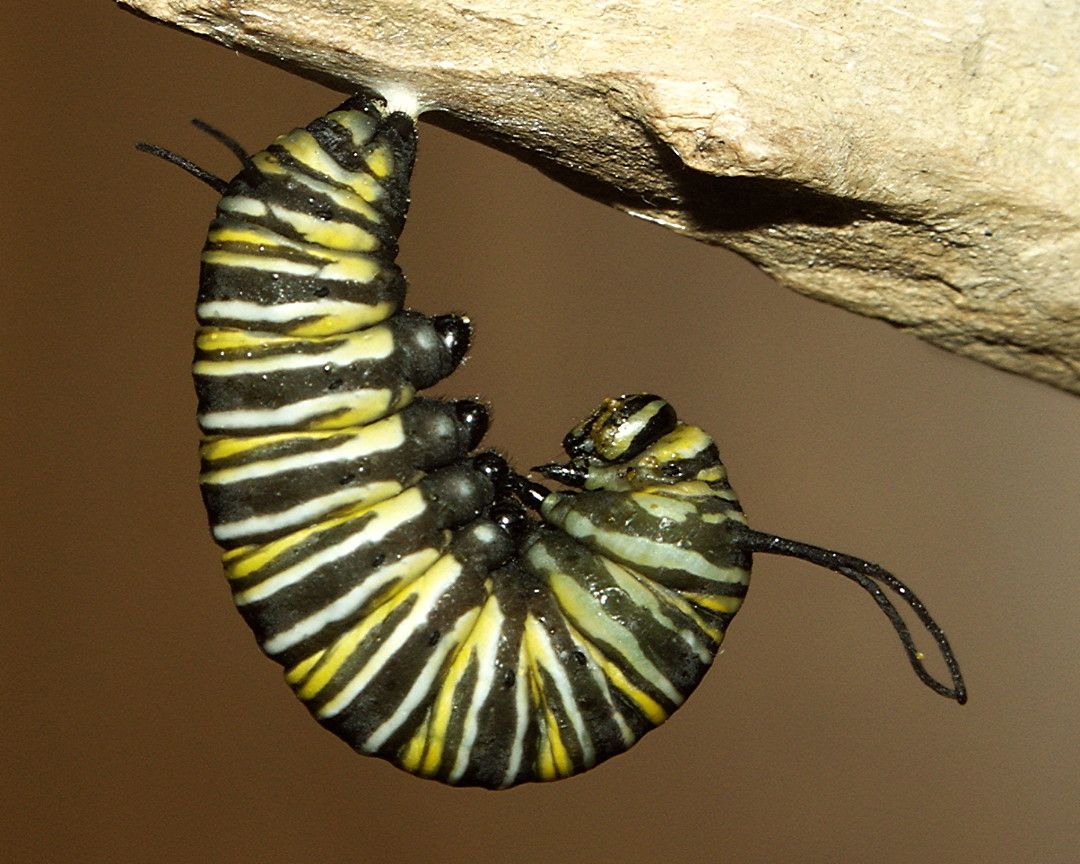 Monarch Butterfly Life Cycle In Pictures
