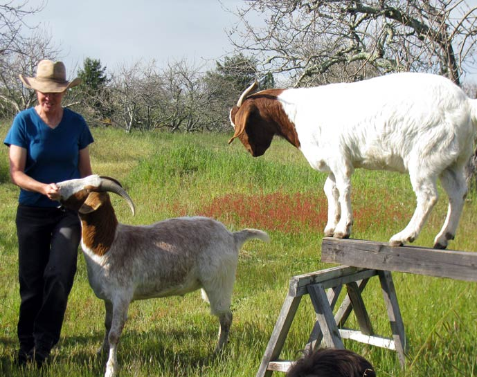 """Ali rewards a goat that has successfully completed its """"walk the plank"""" routine."""