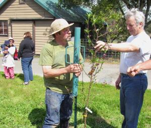 yesway drives in a support stake for the newly planted Frost peach.