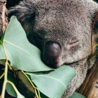 How crying cathartic tears of joy in an Australian koala sanctuary set me free