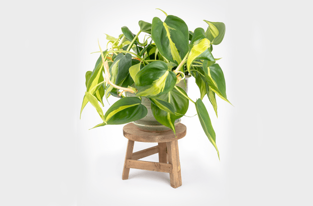 Philodendron Brasil easy care indoor plants