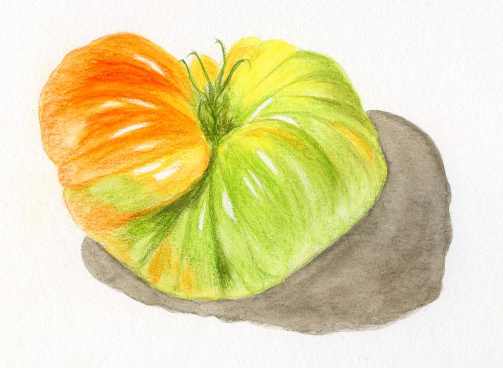 Museum Aquarelle sketch - tomato