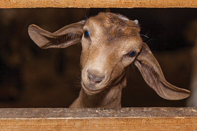little brown goat