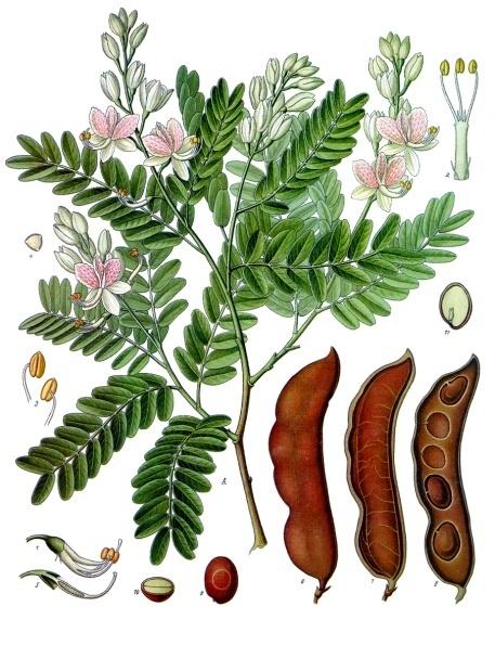 Demirhindi (Tamarind)