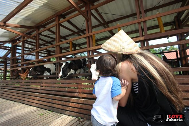 Feeding cows at Kuntum Bogor_Quantum Nursery Bogor_Kuntum Farmfield Bogor_Tasha May_welovejakarta_we love jakarta_jakarta with kids_kids in indonesia_what to do with kids on the weekend in jakarta