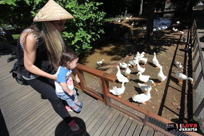 Ducks at Kuntum Bogor_Quantum Nursery Bogor_Kuntum Farmfield Bogor_Tasha May_welovejakarta_we love jakarta_jakarta with kids_kids in indonesia_what to do with kids on the weekend in jakarta