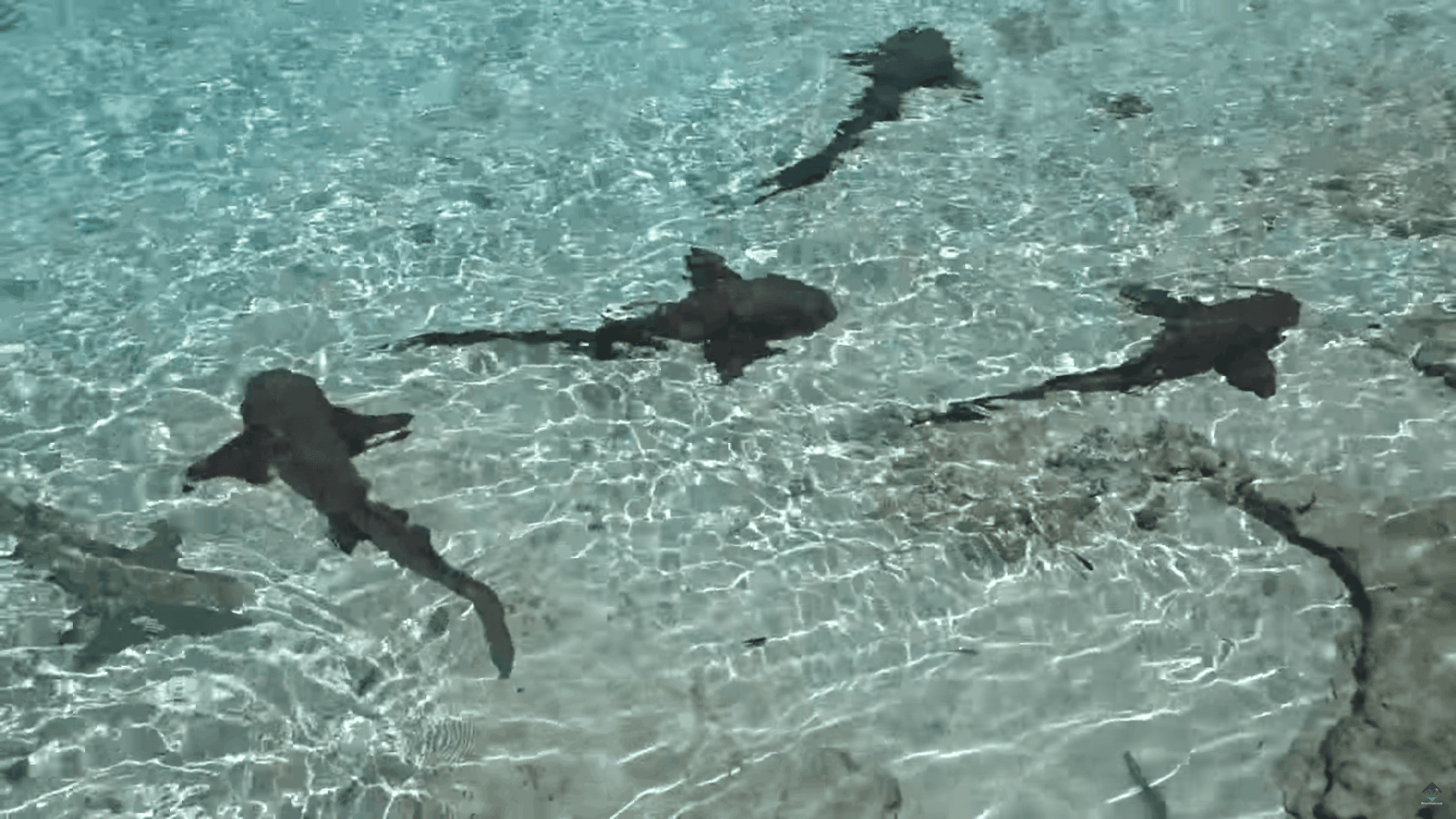 Nurse Sharks and Lemon Sharks in the Exuma Cays