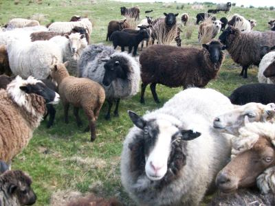 naturally different coloured sheep