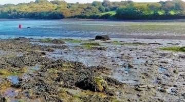 The Cleddau with seaweed