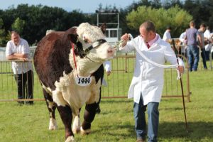 hereford cattle showcased at anglesey show