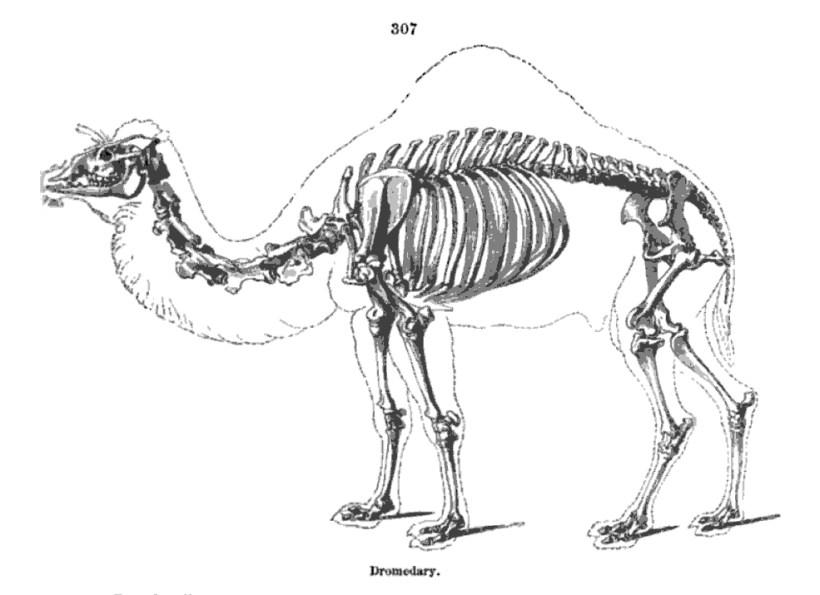 Camel skeleton 1866