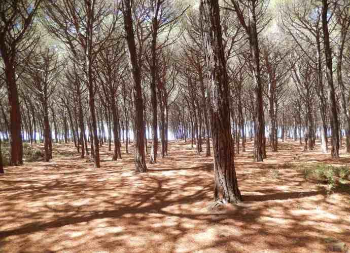 Wandern durch Pinienwälder