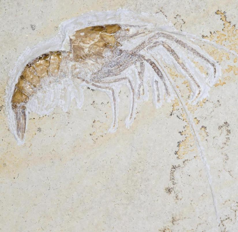 Fossils in Bavaria: This fossil crab (Aeger tipularius) was found next to dendrites in the Eichstätt quarry on the Blumenberg in the Altmühltal