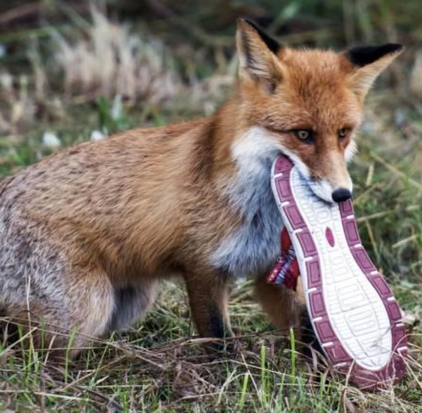 Caught: A fox steals shoes