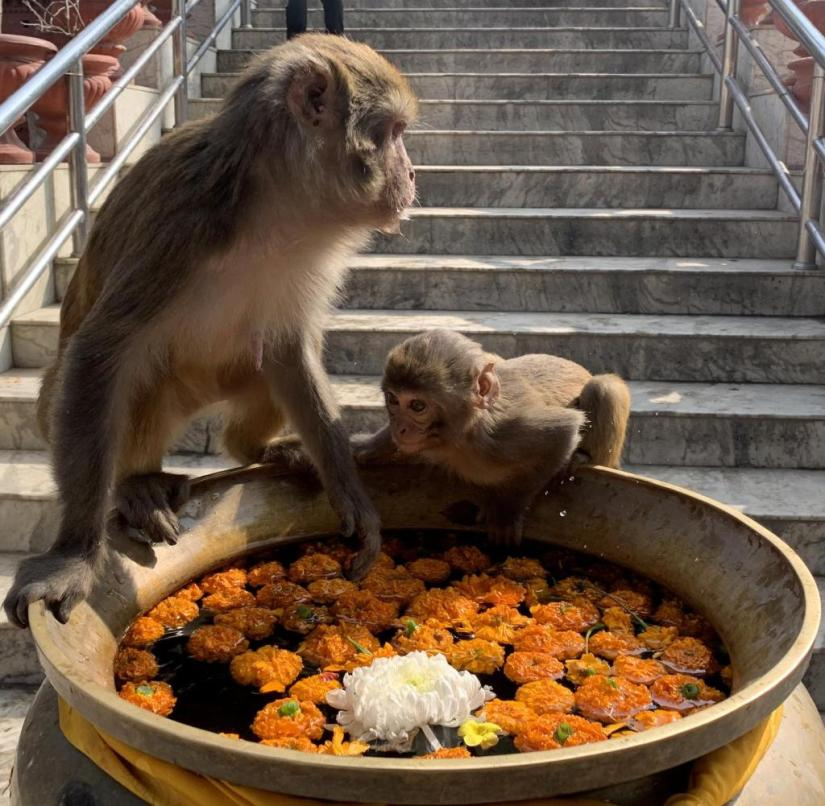 Nepal: Macaques also belong to Kathmandu's population