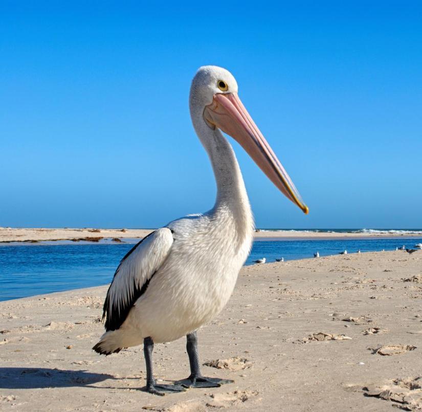 Australia: Pelicans also feel good on the beaches of Adelaide