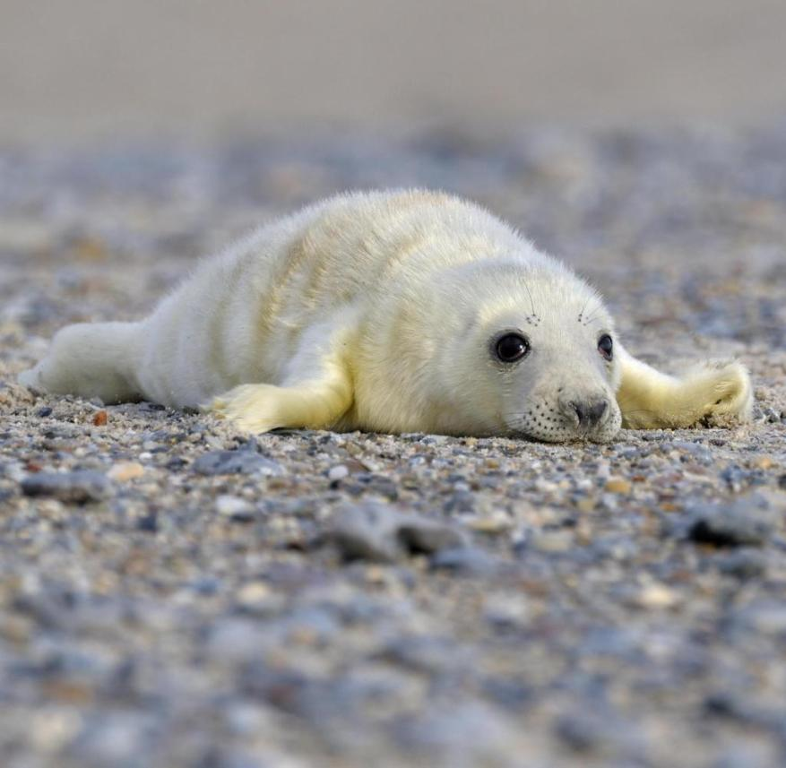 Helgoland is one of the best places on the North Sea to spot gray seals