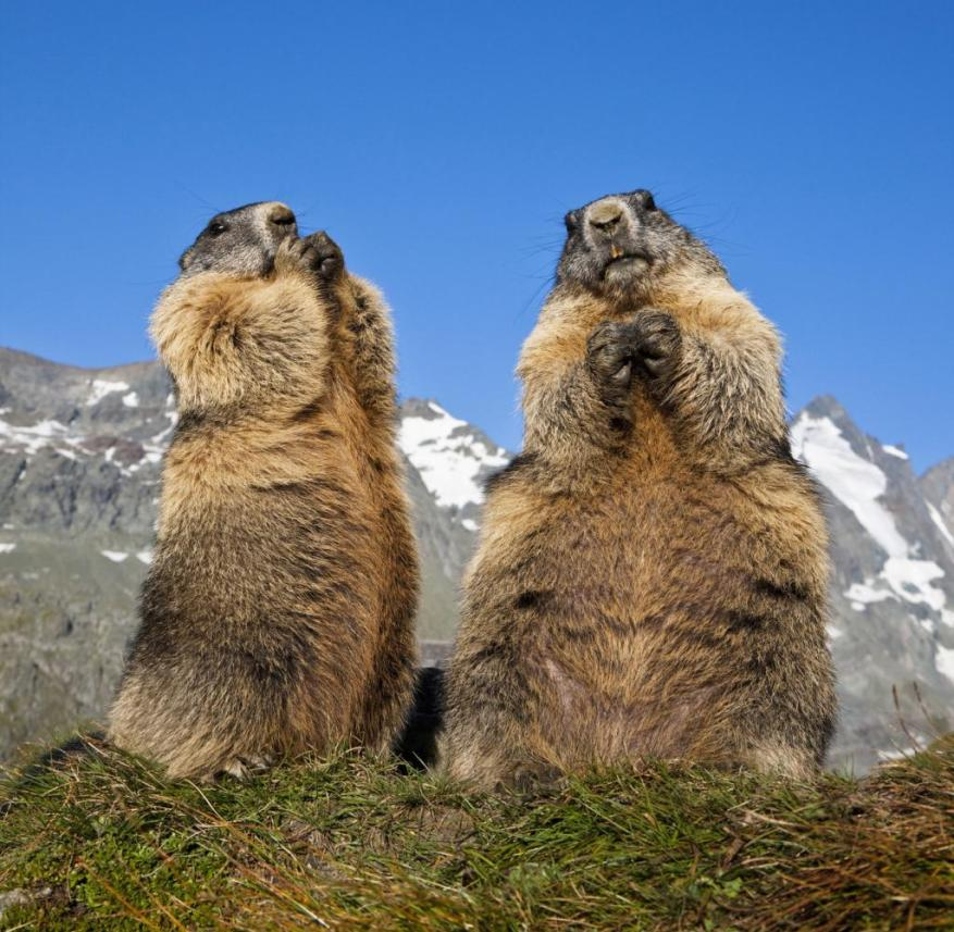 Tyrol (Austria): Two marmots in front of the backdrop of the Grossglockner