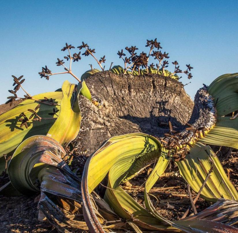 Welwitschia mirabilis in the Namib Desert in Namibia