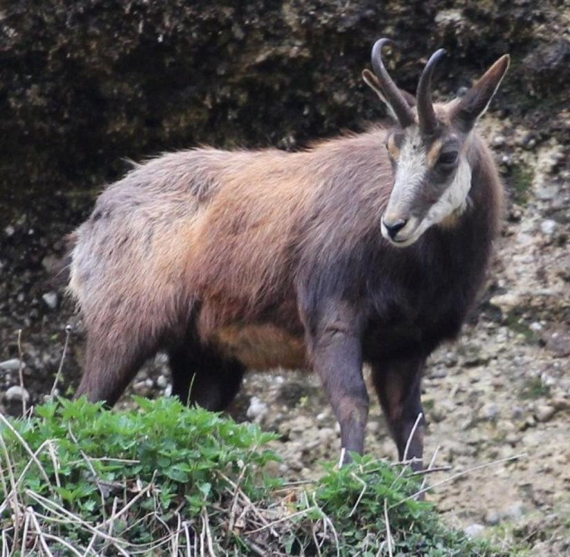 In the middle of Salzburg: a chamois on the Kapuzinerberg