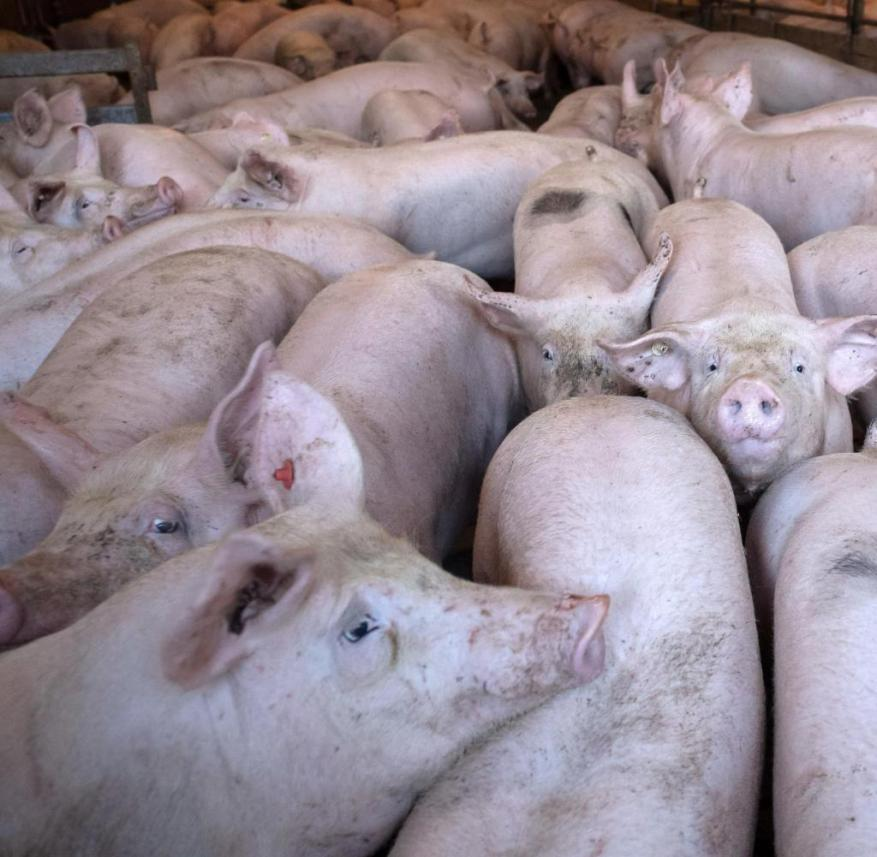 The most important foreign buyer of German pork is China