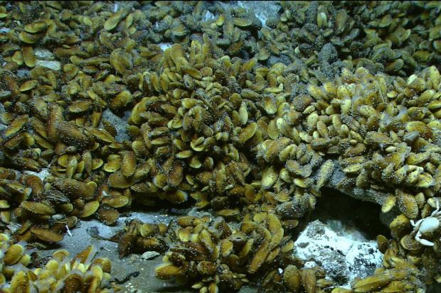 Die Mikroben liefern die Energie für diese Muscheln, die an Tiefsee-Quellen leben