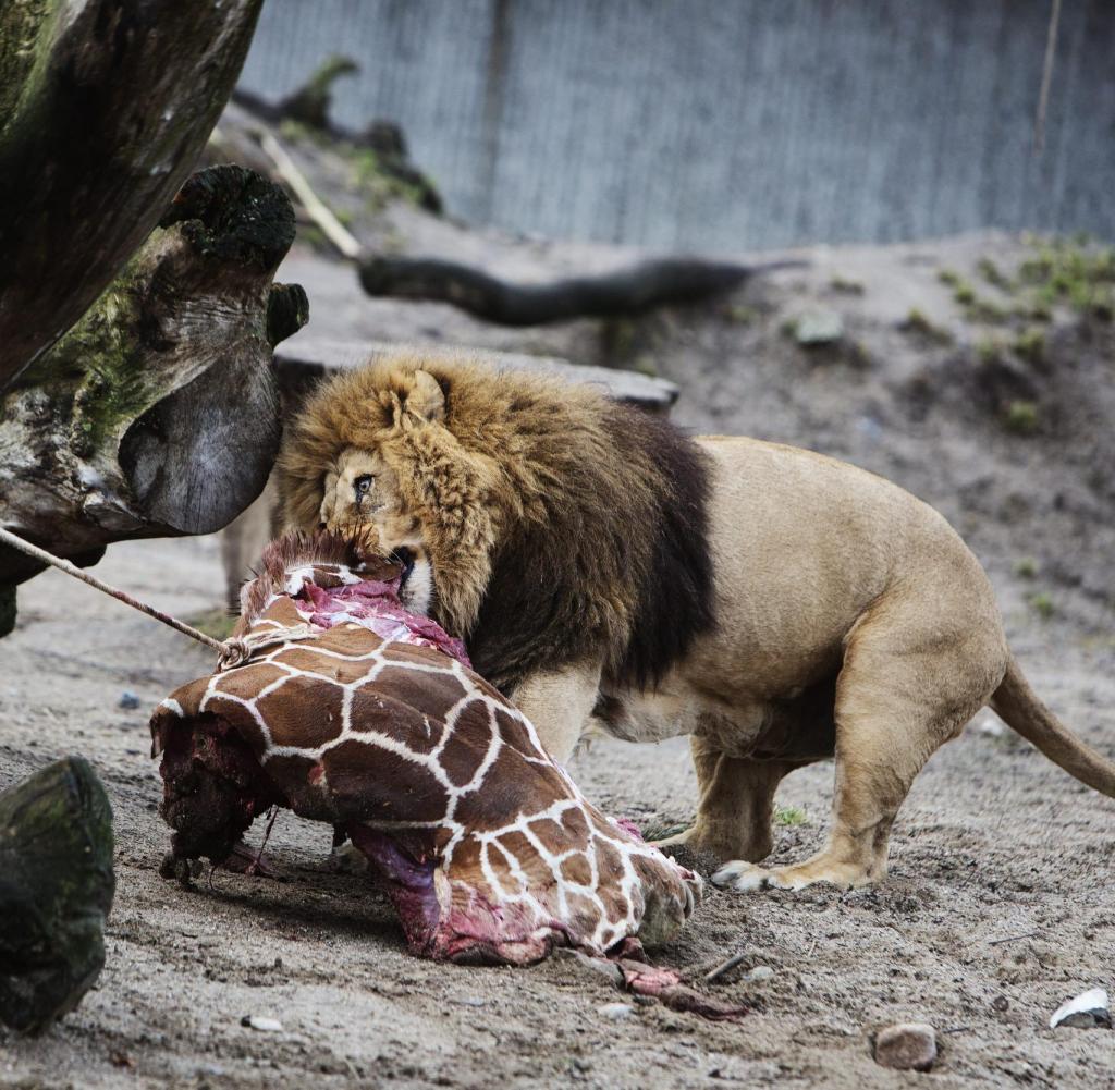 Zoos Warum Auch Gesunde Tiere Gettet Werden WELT