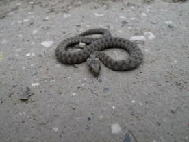 weiß jemand, was das für eine Schlange ist? Ca 25 cm.