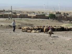 morgendliches Schafemelken