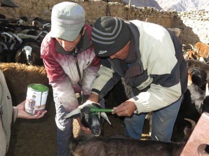 Markiern der Schafe und Ziegen