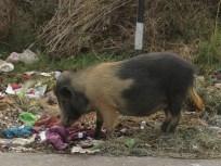 Schwein frisst Lumpen