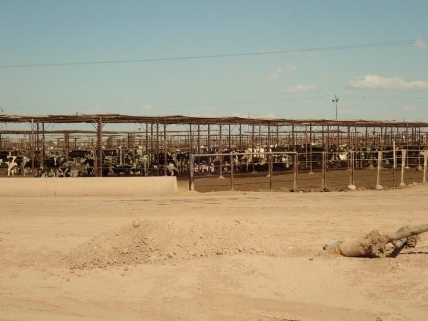 Schattendach, Zaun, Wasser und Heu, fertig ist die gigantische Rindermastanlage