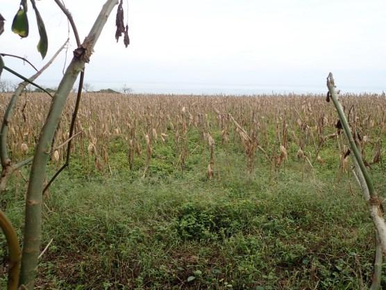 Mais, der auf dem Stengel gelagert wird