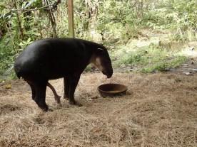 Tapir: beeindruckend!