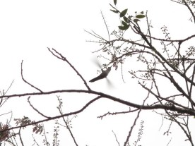 Hummingbird=Kolibri