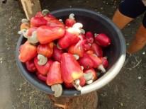 Cashew-Früchte. Das Weiße sind die Nüsse.