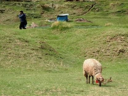 Schaf mit ...