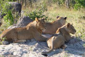 Chobe_Nationalpark_Loewen_1200_800